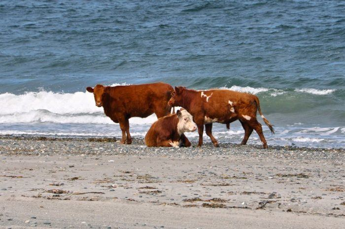 Wild_Cows_East_Coast_Guy_Kimola