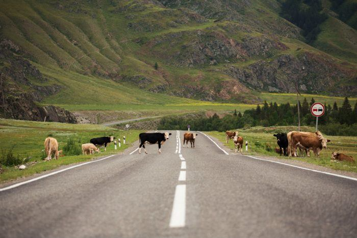 many cows on rural road P7FL4PX